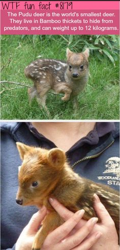 This, Is A Pudu Deer. - The World's Smallest Deer! ~WTF fun facts