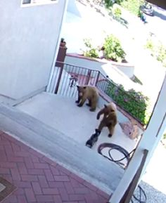 Viral WATCH: 20-Pound French Bulldog Chases Bears Away from Home