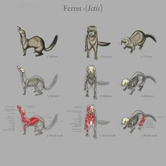 This is great, so hard to find good diagrams of a ferret skeleton.