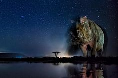 Picture of hippo. A hidden camera sees animals on the move at night in a way the human eye cannot.