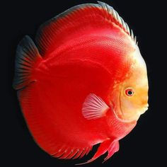 Summary: Pet tropical fish are hardy and can adjust to any kind of environment, Pet tropical fish show signs of stress and disease if there is lack of oxygen which results is an excess of fish wastage. Discus Aquarium, Tropical Fish Aquarium, Discus Fish, Freshwater Aquarium Fish, Discus Tank, Saltwater Tank, Saltwater Aquarium, Acara Disco, Oscar Fish