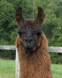 Beautiful, Regal, Bijan is an adoptable Llama Llama in Burnsville, NC. Bijan - Llama Male DoB: 6/1/92 Bijan is an older guy but in great shape. He does appreciate a supplement of Equine Senior as his teeth are worn but...