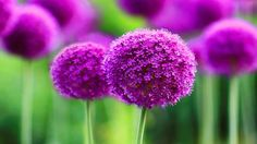 beautiful purple flower pictures high quality