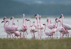 Beautiful photographic fine art wildlife print of Flamingoes at dawn in Lake Nakuru National Park, Kenya. Our selection of beautiful art papers and canvas gives you endless choices. Stretched Canvas, Framed and Mounted options arrive ready to hang. The perfect print to suit contemporary or modern decor schemes. This art print is the ideal art print for wildlife art lovers.