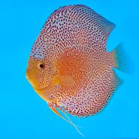 A Leopard Snake Skin discus with perfect markings and body shape - nice and round and thick. Tropical Freshwater Fish, Freshwater Aquarium Fish, Tropical Fish, Sea Aquarium, Saltwater Aquarium, Underwater Creatures, Ocean Creatures, Colorful Animals, Colorful Fish