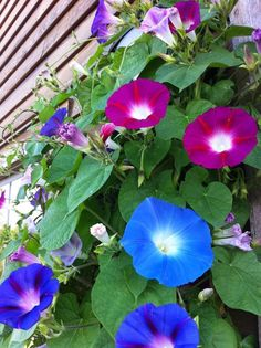 Morning Glories ~ Protection, binding; an ally for Hedgewitches and Spirit workers.