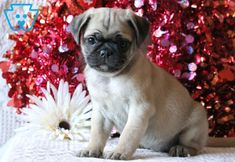 What a gorgeous Pug puppy this is! He is ACA registered, vet checked, vaccinated, wormed and comes with a 1 year genetic health guarantee. This puppy is English Bulldog Puppies, English Bulldogs, French Bulldogs, Cute Baby Animals, Funny Animals, Boston Terrier, Terrier Puppies, Pug Puppies For Sale, Baby Bulldogs
