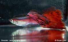 Red BiColor  The Red Bicolor guppy must have a base color of Red and the secondary color must be at least 25% of the tail color.