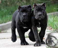 Cane Corso -- they look young.