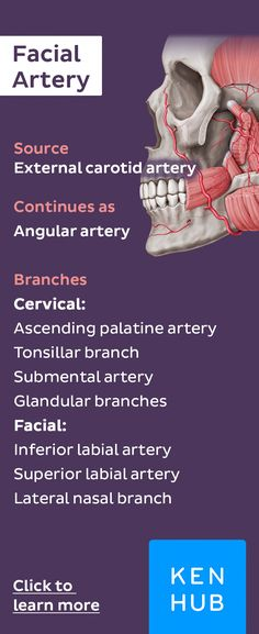 #arteryfacts about the facial artery. Pin and share our little fact sheets with everyone! :) #EffectsOfGreenCoffeeBeanWeightLoss