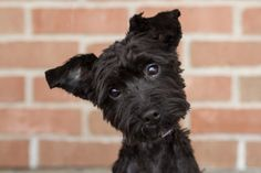 Just look at that face!  Yorkie and Poodle mix
