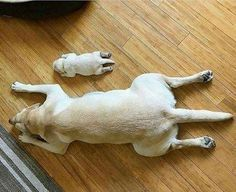 Labrador Retrievers are masters at planking