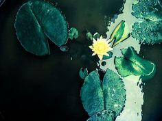 出於泥而不染  Proverb: Growing out of mud, the lotus blooms pure and untainted.   Shot and edited on mobile phone.   Gallery: https://www.flickr.com/photos/bdrc1989/