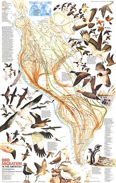 Bird Migration in the Americas Map