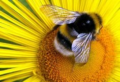 Bees Pollinating Flowers | ... flower to flower. But butterflies do their fair share of pollinating