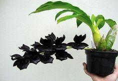 Orquídea Negra Monnierara Millennium Magic 'Witchcraft' FCC/AOS - COR NEGRA NATURAL MUITO RARA