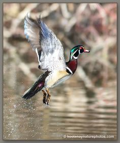 Wood Duck.... And this would be the newest duck to be mounted!! Way to go guys!!