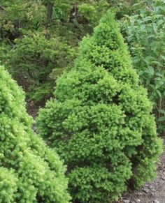 Picea glauca Conica, kartiovalkokuusi Flower Garden, Herbs, Plants, Garden, Evergreen, Conifers, Flowers, Landscape, Dwarf Alberta Spruce