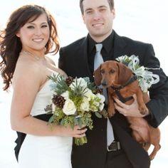 Dachshund in the wedding