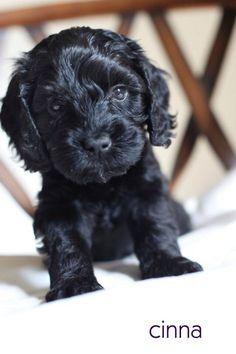 Cutest Black Australian labradoodle puppy 6 weeks old