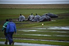 Five sperm whales that have washed up dead on the mud flats shore are photographed near Dithmarschen, Germany