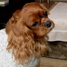 LeeLu. Cavalier King Charles Spaniel.  For sweater weather.