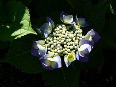 Lace Cap Hydrangea....my garden