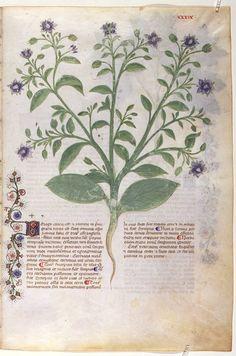 Historia Plantarum - Grassi, Giovannino de', approximately 1340-1398 Grassi, Salomone de', active 1399-1400