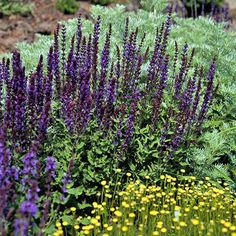 May Night Salvia. Zone May Night is an award-winning selection that offers spikes of deep blue-purple flowers in summer. If deadheaded, it reblooms. Like most salvias, it's left alone by deer and rabbits and thrives in full sun and well-drained soil. Autumn Garden, Summer Garden, Deer Garden, Sun Garden, May Night Salvia, Salvia Plants, Mailbox Garden, Sun Plants, Flowering Plants