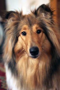 My collie Resha. #dog #collie