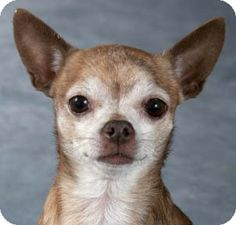 Chicago, IL - Chihuahua. Meet Chico a Dog for Adoption.