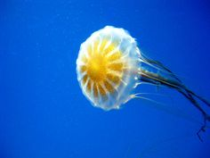 Jellyfish 8X10 Macro Photo Wildlife Photography by AFlashOfNature