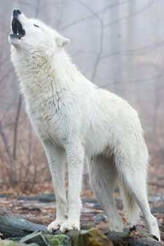 """beautiful-wildlife: """" Answering The Call by © Michael Barry This Tundra Wolf stood tall and proud, returning the call of the pack. """""""