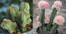 Crassula 'Buddha's Temple' is a very interesting succulent plant. In time it will grow up to 6 inches (15 cm) tal... #kalanchoe #succulentopedia #succulents #CactiAndSucculents #WorldOfSucculents #SucculentLove #succulent #SucculentPlant #SucculentPlants #succulentmania #SucculentLover #SucculentObsession #SucculentCollection #plant #plants #SucculentGarden #garden #DesertPlants #nature #blooming #BloomingSucculent #flower #flowers #SucculentFlower #SucculentFlowers