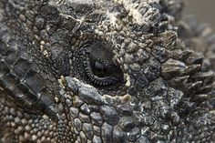 Eye of a Marine Iguana http://www.galapagosexpeditions.com/islands/animals-wildlife.php