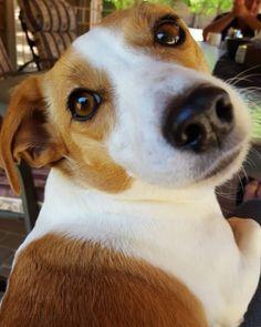 Jack Russell Terrier, Jack Russell Mix, Corgis, Terriers, Labrador Retriever, Animals, Labrador Retrievers, Animales, Animaux