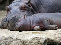 O jovem hipopótamo Hippopotamus Bouli também vive no zoológico de Amnéville  Foto: Jean-Christophe Verhaegen/AFP