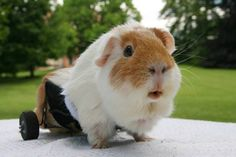 """""""My heart melted at these pictures of Benny, the famous paralyzed piggy with specially designed wheels to get around. He loves attending 'pignics' with his friends. Boston strong! (P.S. regarding the 'Benny' link above: 'Wheek.it' is a URL shortening site that supports guinea pig rescues with every click from a Wheek.it URL. Wheek wheek!"""" – Cuteporter Susan R."""
