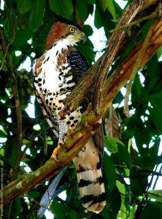 Ornate Hawk-eagle (Spizaetus ornatus)