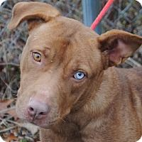 Sandy - URGENT - Calhoun County Humane Society, Inc. in Anniston, Alabama - ADOPT OR FOSTER - 2 year old Spayed Female Pit Bull Terrier Mix