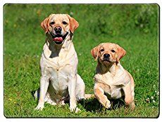 Labrador obedience training explained - How to have the obedient Labrador Retriever of your dreams!