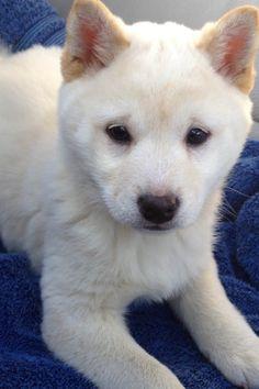 My Shiba Inu Puppy