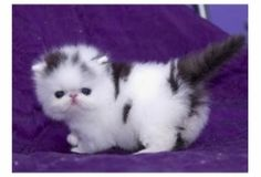 Persian Black and White Kitten. Awww! Look at that tail!!!