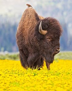 bison with bird on back