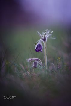 """Night tones - Pulsatilla Pratensis Pasque Flower is a perennial herb with a basal with hairy leaves. Due to changes in natural conditions, there is a loss of individual species in the nature, because of that are Pulsatillas protected. Shot from my series """"Spring Pasque Flowers"""""""