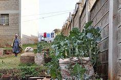 urban agriculture in Nairobi, Kenya