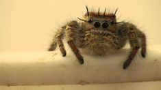 Phidippus Carolinensis Jumping Spider Being Cute... @KarlaMorales12  Watch this. They are soooo cute! Ugh can't take it