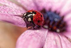 Os dias chuvosos pode ser uma chatice, mas imagine como é para uma joaninha. O fotógrafo espanhol Alejandro Ferrer Ruiz tem um portfólio especialmente dedicado a esses belos insetos com gotas de água sobre suas costas registradas de forma bela e impressionante através do estilo macro de fotografia.