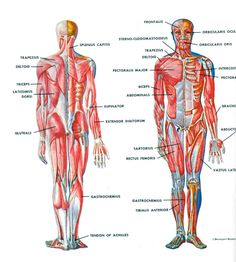 muscular system labeled | anesthesia & medical professions, Muscles