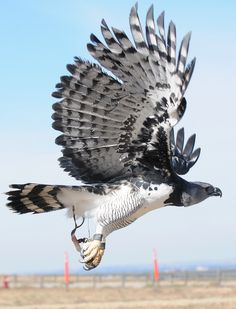 Harpy eagle. The largest and most powerful raptor in the Americas, and among the largest in the world. They have a wingspan of up to 7 feet.
